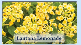Duerr's Greenhouses Lantana Lemonade