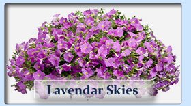 Duerr's Greenhouses Lavendar Skies