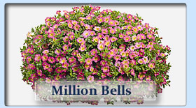 Duerr's Greenhouses Million Bells