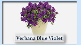 Duerr's Greenhouses Verbana Blue Violet